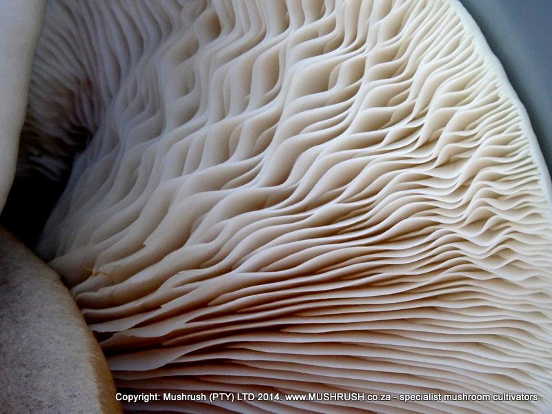 Gills of the oyster mushroom.