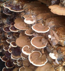 Mushrush Organic Growing of Medicinal Red Reishi Mushrooms