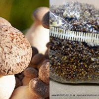 King oyster mushroom spawn/seed
