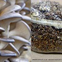 Mushrush osyter mushroom seed spawn grow your own South Africa