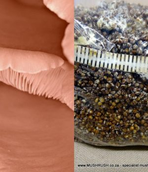 Mushroom-seed-spawn-grain-grow-farm-own-pink-oyster-mushrooms