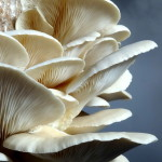 Growing oyster mushrooms is easy.
