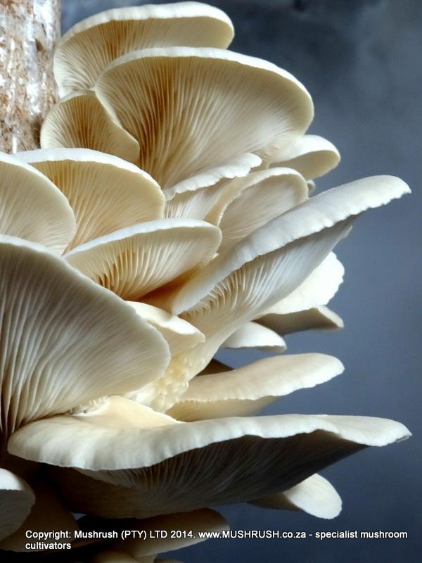 Elm A oyster mushroom - Mushrush South Africa