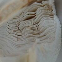 mushroom gills by Mushrush