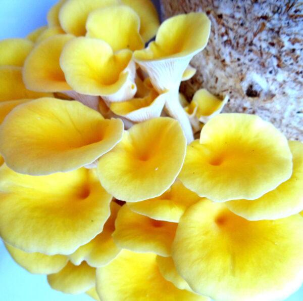 Golden oyster grow bag