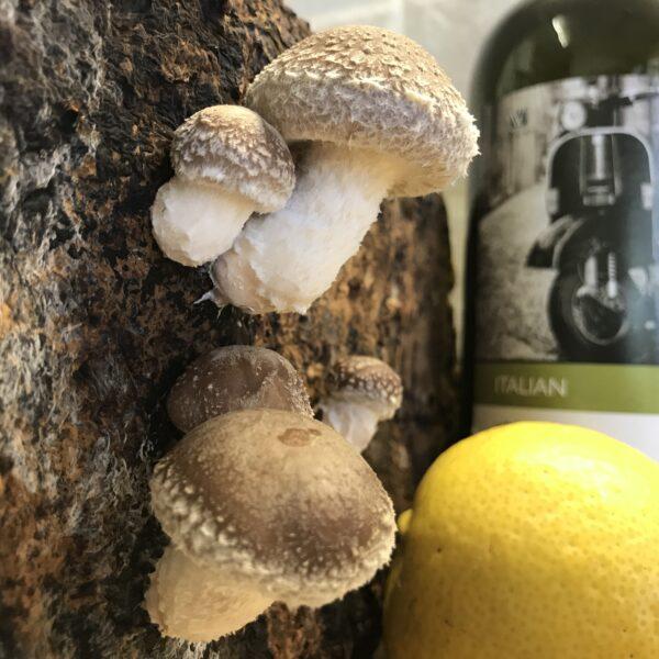 Home grown shiitake mushroom is a gourmet must