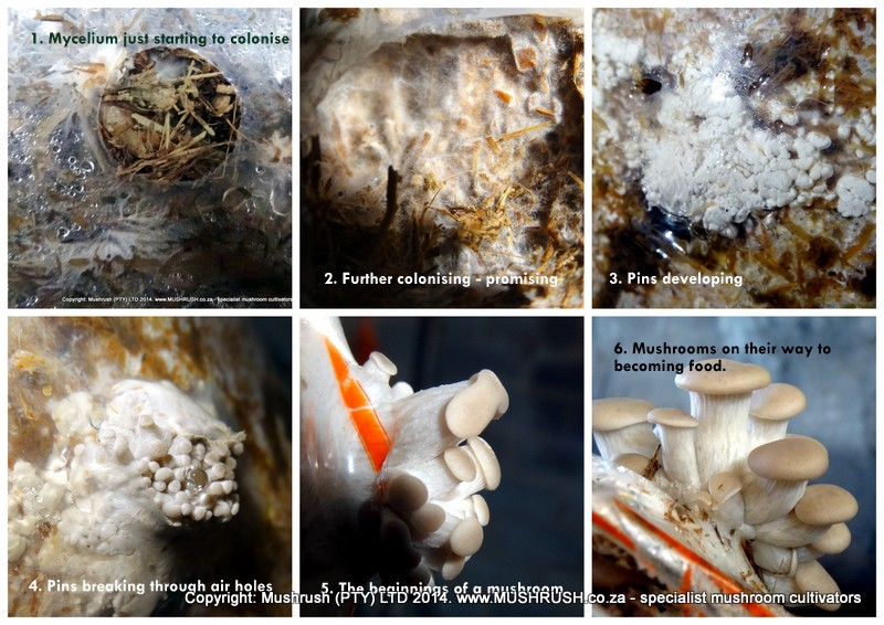 Mushrush Growing Oysters Mushrooms in South Africa