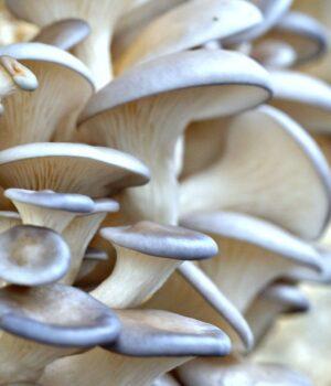Pearl Oyster Mushroom Culture