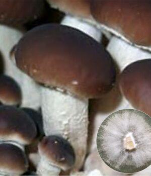 Black Poplar mushroom culture