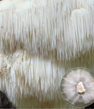 Lion's Mane Mushroom culture