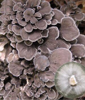 Maitake Mushroom Culture
