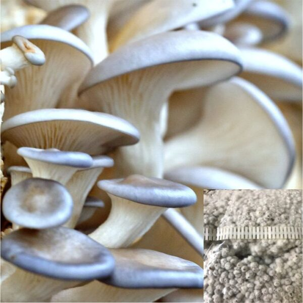 Pearl Oyster mushrooms
